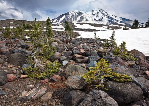 Miniture trees below Mt Adams, Mount Adams Wilderness Area, Washington